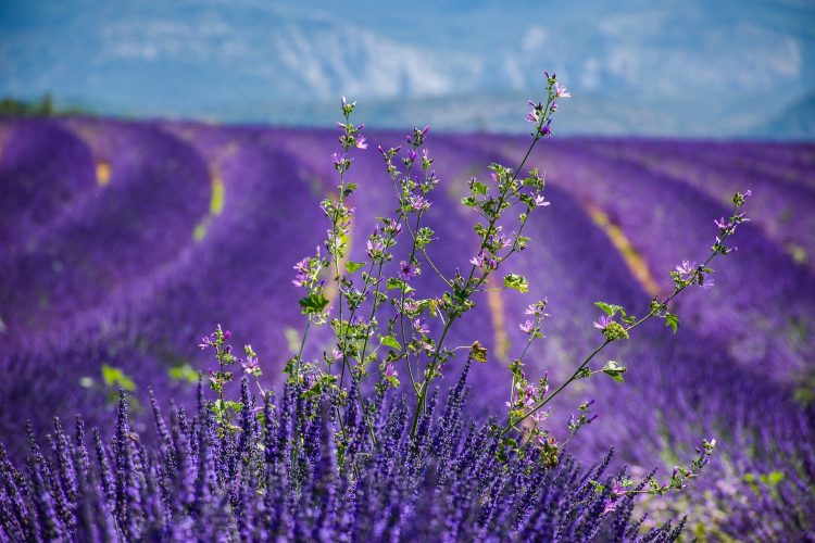 7 Astonishing Lavender Fields From Every Nook and Corner of the World